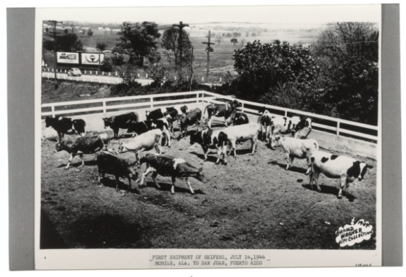 First Heifer Project shipment, June 1944