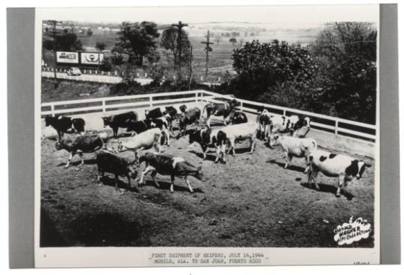 First Heifer Project shipment, June 1944