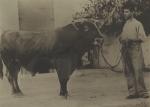 The bull Parnassus in Greece.