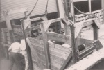 Loading heifers, 1946