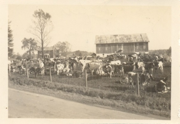 Heifers wait for shipment in fall 1945 at the Roger Roop farm, Union Bridge, Maryland. Photo credit: Robert Ebey.