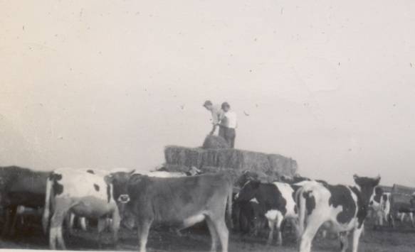 Helpers feed hay to heifers on the Roger Roop farm. Photo courtesy of Kenneth West.