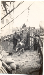 A heifer comes on board the S,S, Charles W. Wooster in January 1946 to begin its journey to Czechoslovakia.