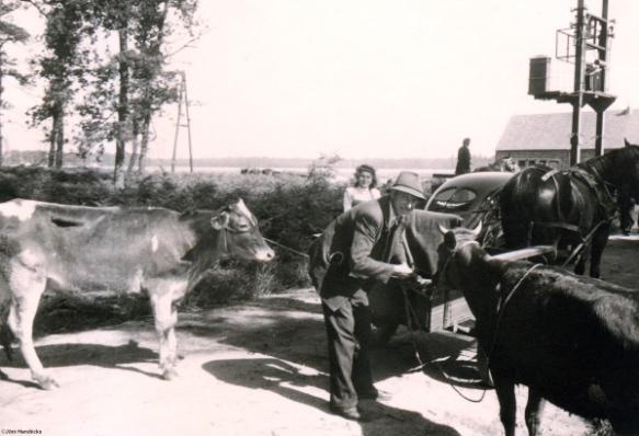 Bild 140 Ankunft und Verteilung von 42 Kühen, Geschen~1