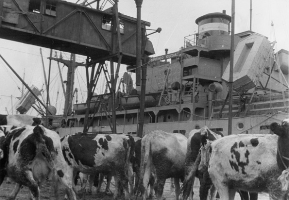 Heifers off-loaded from the Sangiago Iglesias await distribution to Polish farmers, November 1945. Photo credit: UNRRA.