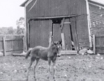 Queen as a colt on the Carl Nunemaker farm, Goshen, Indiana. Photo courtesy of John Nunemaker.