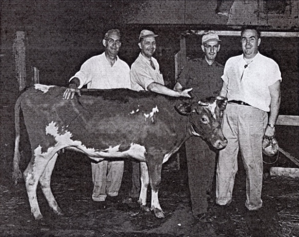 Seagoing cowboys Nicholas Rahn, Clarence Moatz, Harry Colver, and Lloyd Sandt with a heifer for their ship, the S. S. American Importer, September 29, 1955. Photo courtesy of Joanna Hall.