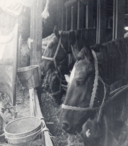 Horses aboard the S. S. Virginian. Courtesy of Earl Holderman.
